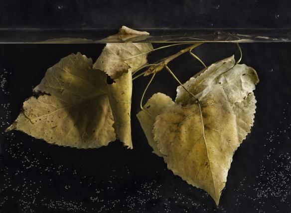 007-07 populus nigra hojas II, 2010
